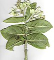 Starr-010309-9001-Calotropis gigantea-branch with flowers-Kihei-Maui (24236490950).jpg