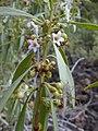 Starr-030202-0114-Myoporum sandwicense-flowers and fruits-Wailea 670-Maui (24619904215).jpg