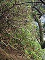Starr-050405-5913-Schinus terebinthifolius-habit-Keopuka-Maui (24716862726).jpg