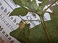 Starr-050427-0663-Solanum americanum-voucher 050405 19-Alau-Maui (24120311853).jpg