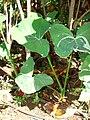 Starr-071024-0163-Xanthosoma sagittifolium-strange variegated leaves-Enchanting Floral Gardens of Kula-Maui (24267212233).jpg