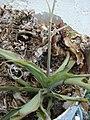 Starr-080531-4835-Chlorophytum comosum-in pot-Bravo barracks Sand Island-Midway Atoll (24817471221).jpg