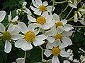 Starr-081230-0658-Montanoa hibiscifolia-flowers-Upper Kaulana-Kahoolawe (24809271082).jpg