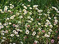 Starr-090513-7549-Erigeron karvinskianus-flowers-Polipoli-Maui (24836749652).jpg
