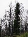 Starr-090513-7708-Sequoia sempervirens-rebounding after fire-Polipoli-Maui (24954999845).jpg