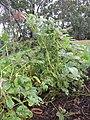 Starr-090611-0629-Glycine max-plants in garden-Olinda-Maui (24337290533).jpg