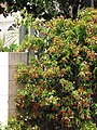 Starr-090709-2505-Quisqualis indica-flowering habit-Lahaina-Maui (24600582939).jpg