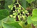 Starr-090713-2613-Jatropha curcas-flowers and leaves-Lahaina-Maui (24943115056).jpg