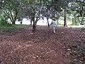 Starr-090804-3781-Macadamia integrifolia-understory with Kim-MISC HQ Piiholo-Maui (24853307592).jpg