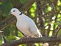 Starr-100113-1214-Psidium guajava-branches with ringneck dove-Waihee-Maui (24913413781).jpg