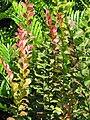 Starr-110215-1369-Lagerstroemia indica-leaves-KiHana Nursery Kihei-Maui (24958050732).jpg
