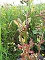Starr-110503-5457-Chenopodium murale-leaves and seeds-Kula-Maui (24467880823).jpg