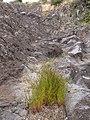 Starr-110705-6799-Juncus bufonius-habit-Waiale Gulch-Maui (24730738029).jpg