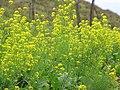 Starr-120608-7322-Brassica rapa-broccoli rabe flowers-Ulupalakua Ranch-Maui (24777619649).jpg