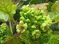 Starr-120620-9739-Jatropha curcas-flowers-Kula Agriculture Park-Maui (24554844944).jpg