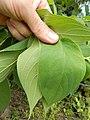 Starr-140222-0391-Trema orientalis-leaves top and bottom-Hana Hwy-Maui (24609982104).jpg