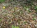 Starr-150301-0358-Citrus sinensis-Washington navel flowers on ground-Hawea Pl Olinda-Maui (25172017151).jpg