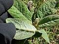 Starr-150401-0415-Pluchea carolinensis-seedling-West Beach Sand Island-Midway Atoll (25272839935).jpg
