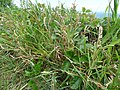 Starr-170328-0801-Stenotaphrum secundatum-seeding habit-Waihee Coastal Preserve-Maui (33298262593).jpg