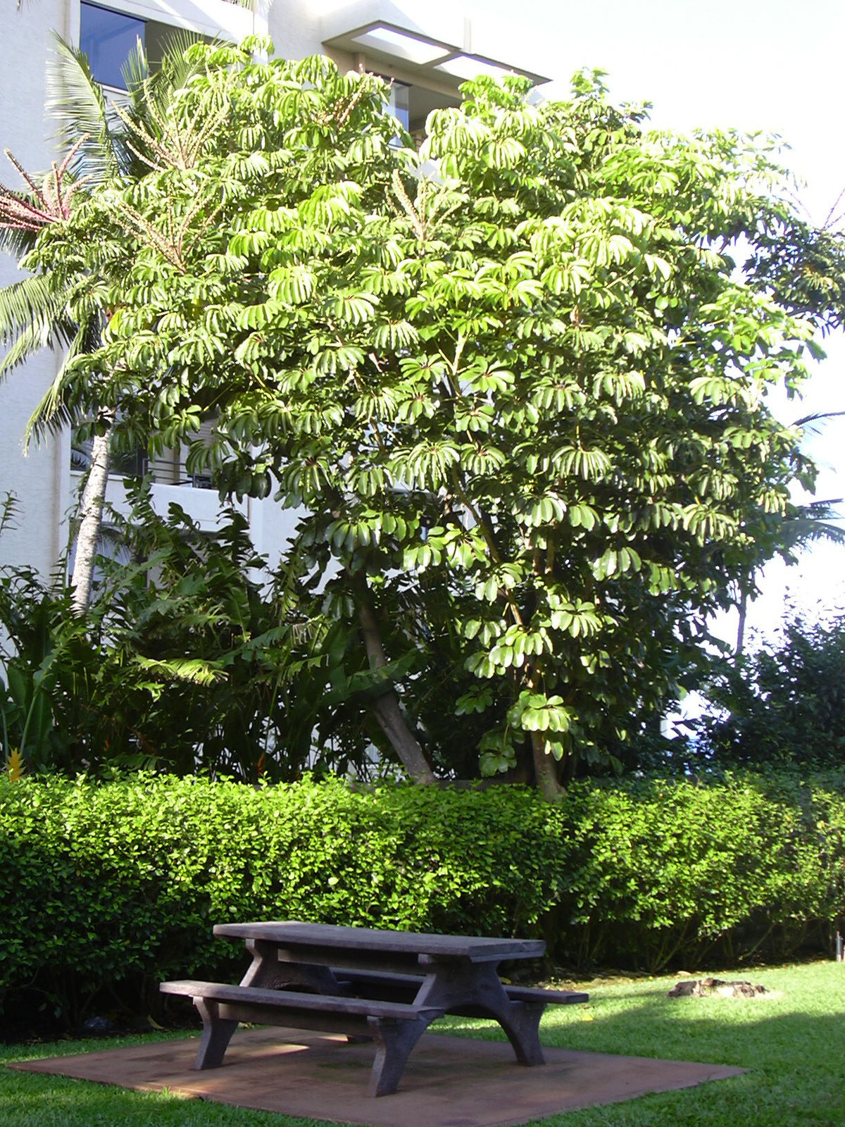schefflera actinophylla wikipedia. Black Bedroom Furniture Sets. Home Design Ideas