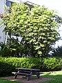Starr 040410-0002 Schefflera actinophylla.jpg