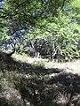 Starr 040902-0042 Prosopis pallida.jpg