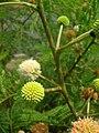 Starr 060721-9547 Leucaena leucocephala.jpg