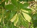 Starr 060814-8563 Schefflera arboricola.jpg