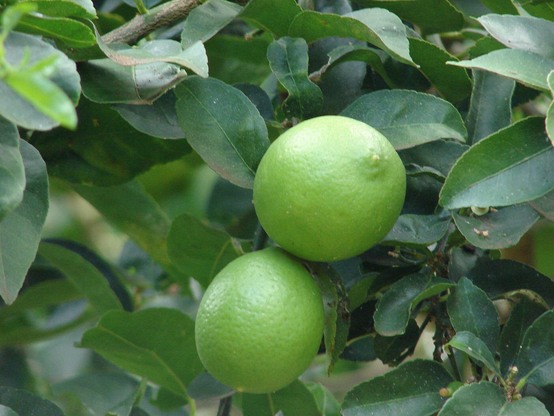 persian lime wikipedia