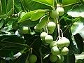 Starr 061106-1462 Calophyllum inophyllum.jpg