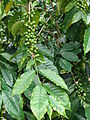 Starr 070308-5468 Coffea arabica.jpg