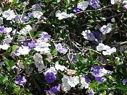 Starr 070403-6451 Brunfelsia australis
