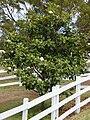 Starr 070618-7344 Magnolia grandiflora.jpg