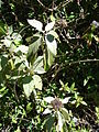 Starr 071024-0251 Barleria albostellata.jpg