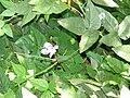 Starr 071024-0304 Vigna caracalla.jpg