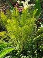 Starr 071024-9736 Cycas circinalis.jpg