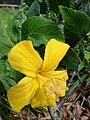 Starr 071121-0022 Hibiscus kokio subsp. saintjohnianus.jpg