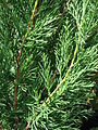 Starr 080117-2025 Juniperus chinensis.jpg
