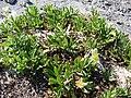 Starr 080604-5891 Oenothera laciniata.jpg