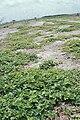 Starr 990412-0538 Boerhavia repens.jpg