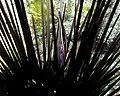 Stegopontonia commensalis, sur Diadematidae.jpg