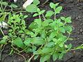 Stevia rebaudiana (DITSL).JPG