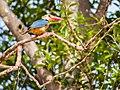 Stork-billed Kingfisher (13970804690).jpg