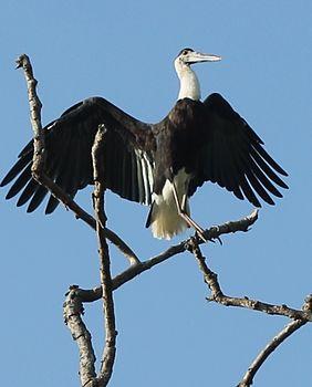 Stork at Kaziranga.jpg