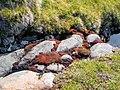 Strange Red plants Quassik Peak near Nanortalik Greenland.jpg