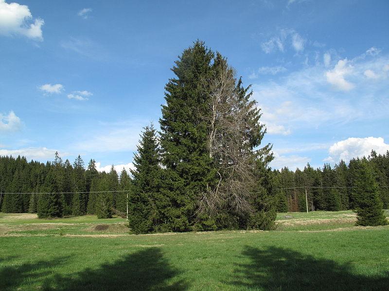 File:Stromy u Pohořského potoka.jpg