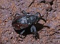 Subgenus Anthonomus P1390561a.jpg
