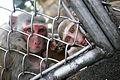 Sukhumi Nursery of monkeys (3337679635).jpg