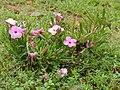 Summer Impala Lily (Adenium swazicum) (13584354483).jpg