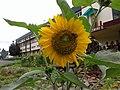 """Sun flower in St. Edmund""""s School, Shillong garden.jpg"""